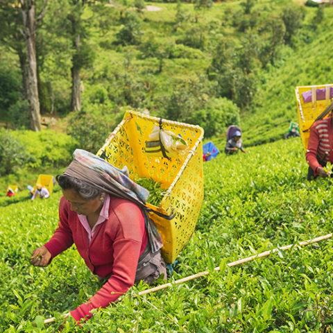 コロンボ発着4泊5日 カスタマイズで満喫 世界遺産「シーギリヤ」「ダンブッラ」とスリランカ仏教の聖なる町「キャンディ」とスリランカの名産「紅茶の茶摘み体験」ツアー